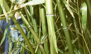 Как вырастить бамбук
