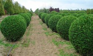 Как своими руками сделать живую изгородь?