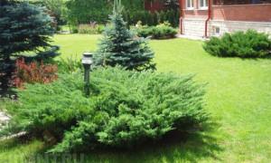 Хвойные растения на вашем участке: практические советы и рекомендации