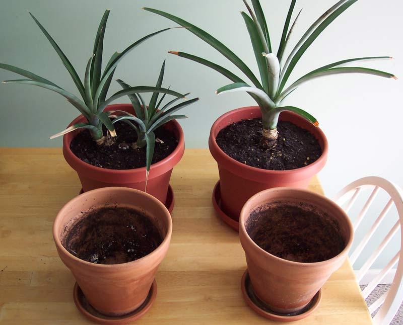 Высаживаем и растим ананас