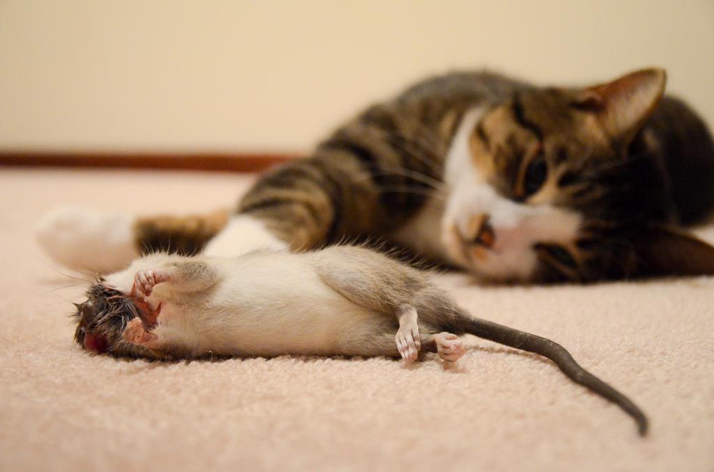 Как избавиться от крыс дома