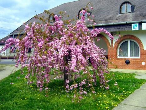 дерево с фиолетовыми цветами перед домом