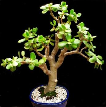 дерево crasulla