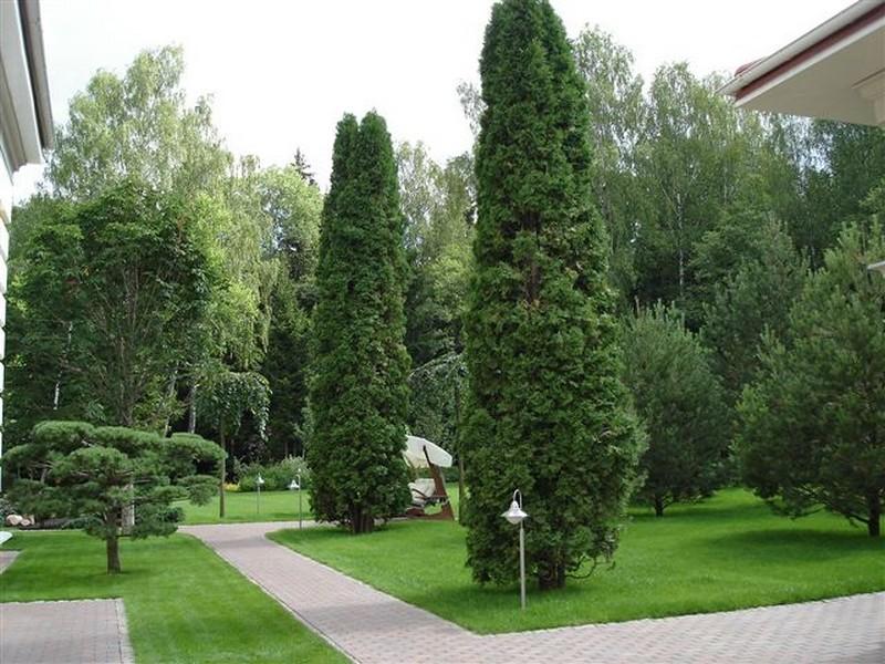 Какие хвойные деревья можно сажать в тени 37