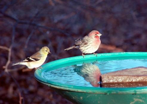 Купальня для птиц из листа ревеня